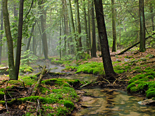 Photo of hemlock forest, creek, and fog
